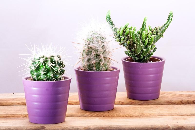 Wachstum durch Growth-Driven Design Website mit 3 Kakteen dargestellt