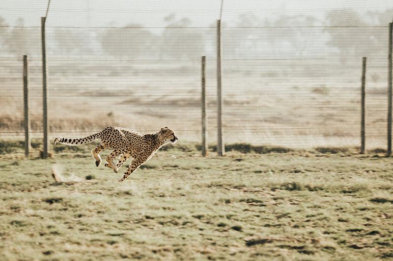 Gepard als Symbol für Digitale Marketingeignung einer Website